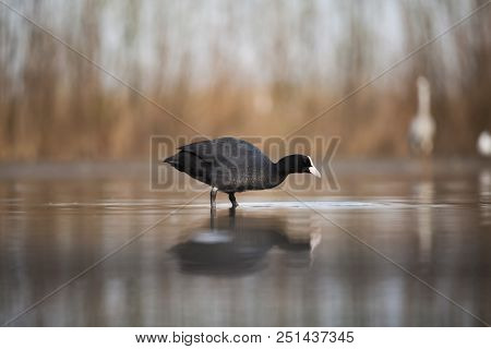 Eurasian Coot (Fulica atra) searching food on the lake stock photo