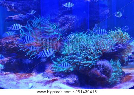 A flock of black-and-white striped fish floats near the rocks covered with moss and coral in clean water. stock photo