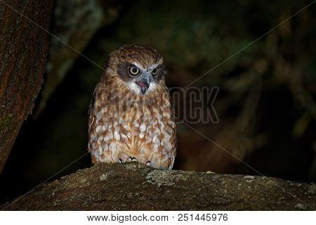 Southern Boobook - Ninox boobook small owl from Australia in the night, native to mainland Australia, New Guinea, the island of Timor, and the Sunda Islands. stock photo