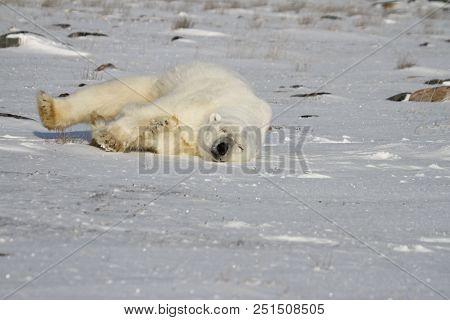 Polar Bear, Ursus Maritimus, rolling around the snow on a sunny day, near the shores of Hudson Bay, Churchill, Manitoba, Canada stock photo