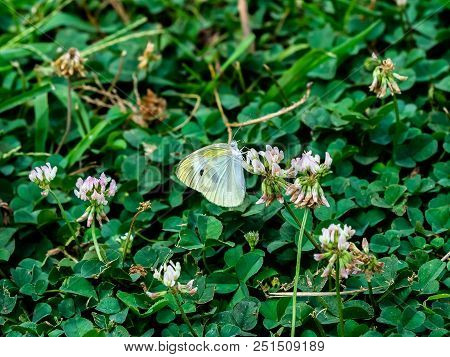A small white cabbage butterfly feeds on small flowers in a small roadside park in central Kanagawa Prefecture, Japan stock photo