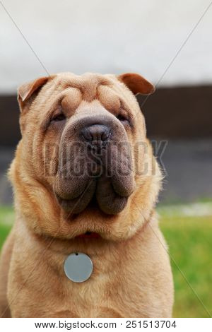 The portrait of a Shar Pei dog stock photo