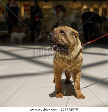 Shar pei dog standing on a leash and sticking tongue out stock photo