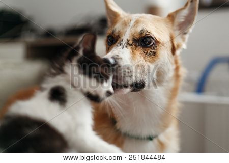 Cute Kitty Meeting With Big Golden Dog In Stylish Room. Woman Holding Adorable Black And White Kitte