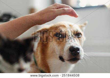 Hand Stroking Cute Dog And Little Kitty In Stylish Room. Woman Holding Adorable Black And White Kitt