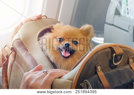 small dog pomaranian spitz in a travel bag on board of plane stock photo