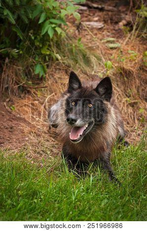 Black Phase Grey Wolf (Canis lupus) - captive animal stock photo