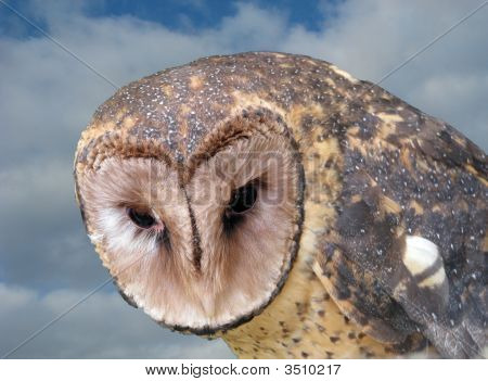 this may be an Australian lesser sooty owl stock photo