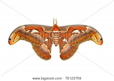 Top view of male attacus atlas moth on white background stock photo