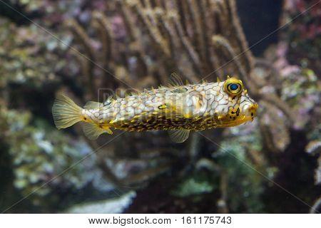 Striped burrfish (Chilomycterus schoepfi), also known as the spiny boxfish. stock photo