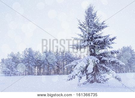 Winter landscape - winter forest with snowy winter fir tree on the foreground during snowfall in cold winter weather. Cold tones processing. Winter picturesque scene with winter snowflakes