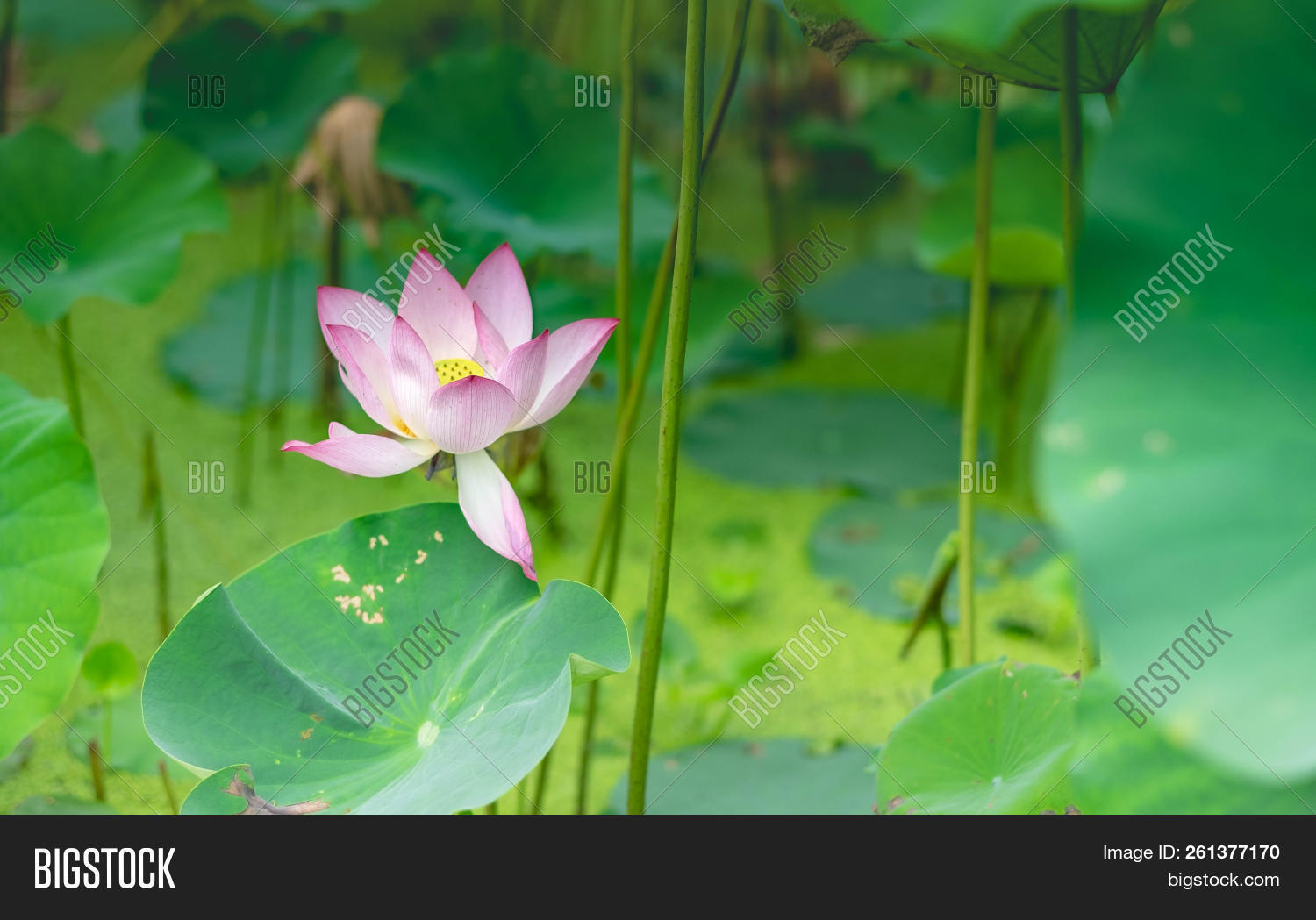 Background is the lotus leaf and lotus bud and lotus flower and tree aquatic izmirmasajfo