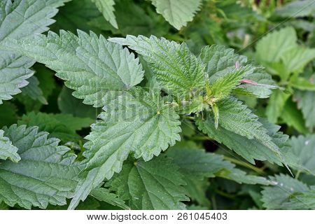 Nettle plant in the garden wild  shown in the wild environment stock photo