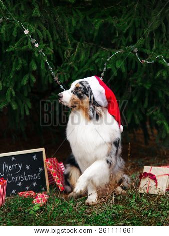 Australian shepherd in red santa hat posing under the christmas tree with wrapped gift boxes and black chalk board with inscription: Merry Christmas. New year 2018 symbol concept. stock photo