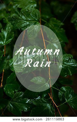 Green wet leaves background, rainy weather. Text 'Autumn rain'. Vertical view stock photo