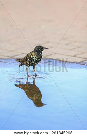 black city bird Starling stands in the Park in the spring in a puddle and drinks water there and bathes stock photo