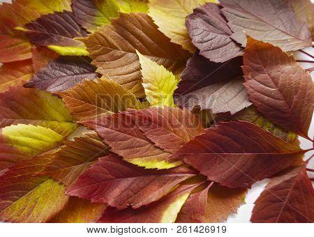 autumn leaves. Colorful autumn leaves of wild grapes. Autumn time. autumn wallpaper. autumn background stock photo