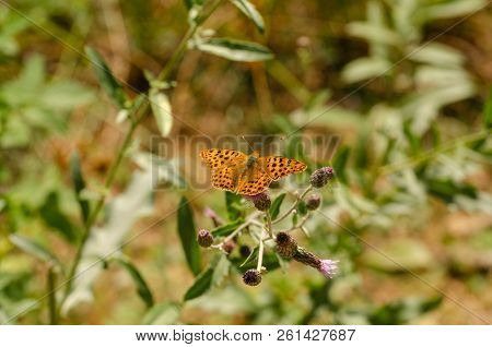 Queen of Spain Fritillary butterfly, Issoria lathonia,is  sitting on a purple flower  with wings open stock photo