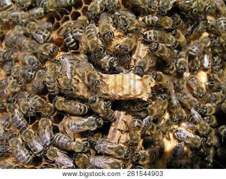 bees gnaw queen cell. bee family close-up. breeding of queen bees. Royal jelly in queen cell. requeening honey bees stock photo