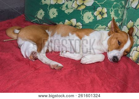 Depressed basenji dog with broken bandaged hind feet lying on a sofa with thermometer in the anus stock photo