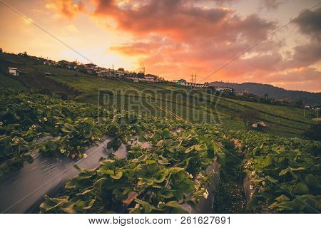 Strawberry fields/farm in evening sunset at Phu Thap Boek, Phechabun province, Thailand. stock photo