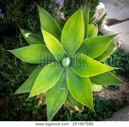 Agave attenuata plant nature symmetry pattern macro stock photo