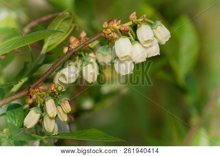 Blossom of Blueberry (Vaccinium myrtillus), beauty of springtime stock photo