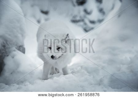 Winter landscape with white polar fox or alopex lagopus in its natural habitat on real snow background. Animal is looking straight into camera. Selective focus. stock photo