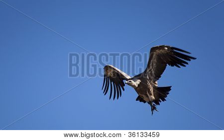 Vulture on fly Las Merindades Burgos Castilla y Leon Spain stock photo
