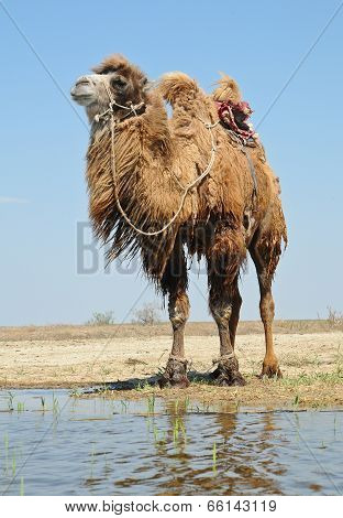 Bactrian camel saddled for riding in the desert