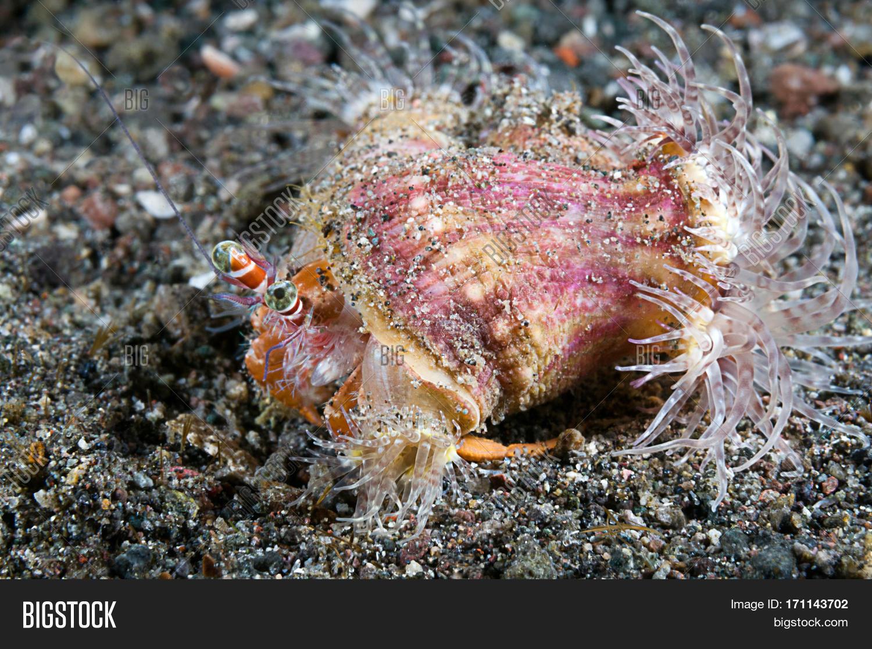 anemone,anemone hermit crab,animal,calliactus polypus,closeup,crab,dardanus pedunculatus,fauna,hermit crab,indo pacific,indonesia,komodo,living together,macro,marine life,nature,nobody,ocean,sea anemone,sea water,soft coral,symbiosis,symbiotic relationship,underwater