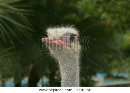 long neck Ostrich close-up detalle de avestruz pico y cabeza stock photo