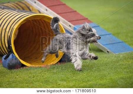 Cute small dog running on agility competition. He came out of yellow tunnel. Enjoying his fun time running and playing. He is purebred Pyrenean sheepdog. stock photo