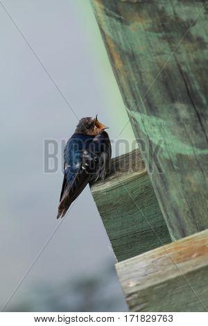 Delightful little swallow hirundo neoxena passerine birds perching on a wooden pier stock photo