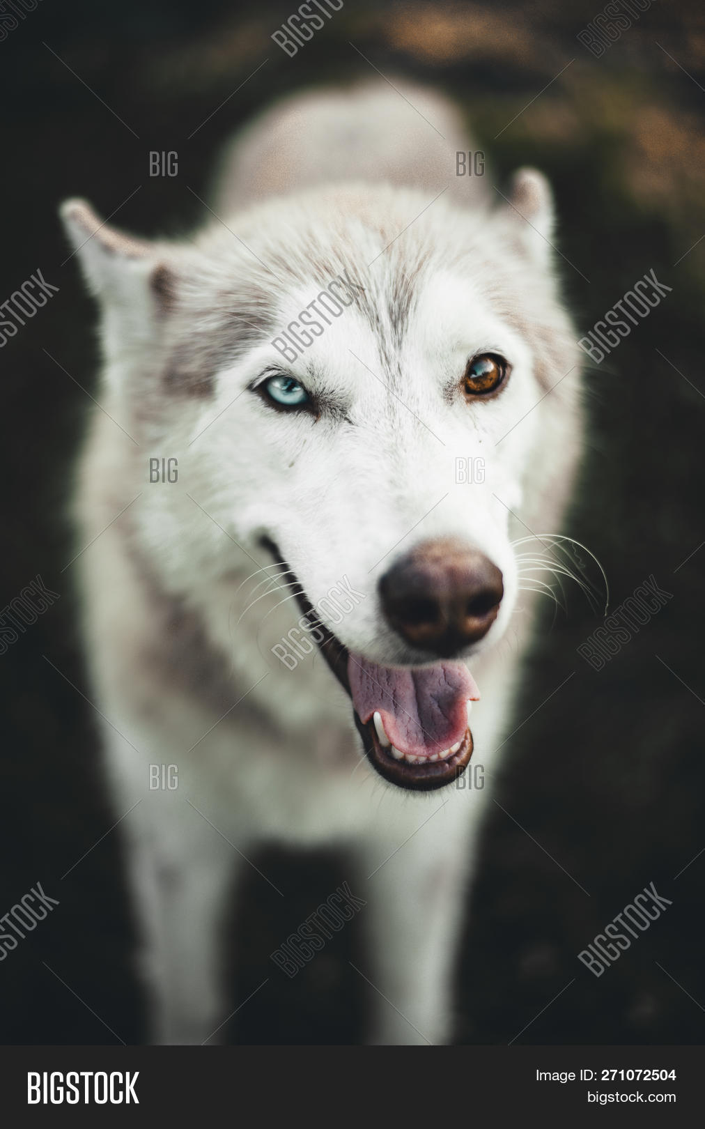 🔥 Cute White And Brown Siberian Husky Dog With Amazing Rare
