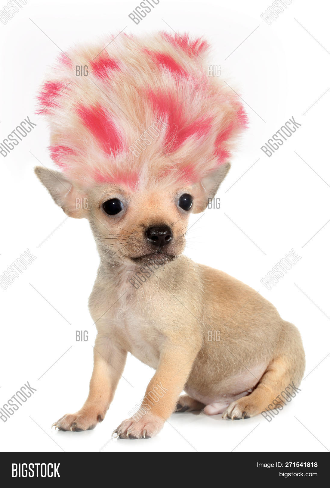 alien,animal,baby animal,baby animals,beige,breed,chihuahua,comedy,companion,concept,crazy,crazy hair,cut out,cute,cute puppy,dwarf dog,funny,genetically,genetics,gmo,hair,haircut,hilarious,idea,isolated,joke,knockabout,little,long haired,long-haired,lovely,modified,on white,pet,pink,poster,puppy,ridiculously,small,smallest,smallest dog,the smallest,toy dog,troll,troll dog,troll hair,vertical,white background,wig