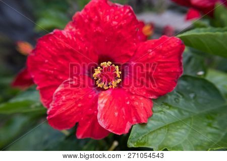 Nature flower wallpaper background red and yellow Lantana Camara also known as Big-sage, Wild-sage, Hedge Flower, Weeping Lantana, Lantana Camara Linn or Tickberry. stock photo