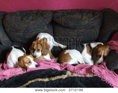 Three Beagles from Aberdeen.Two female and one male. stock photo