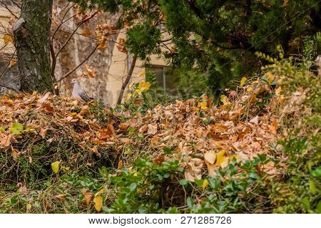 Oriental turtledove perched on cotoneaster berry bush next to tree. stock photo