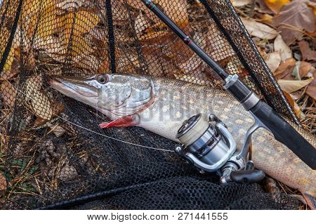 Fishing concept, trophy catch - two big freshwater pikes fish know as Esox Lucius just taken from the water on landing net with fishery catch in it on yellow leaves at autumn time. stock photo