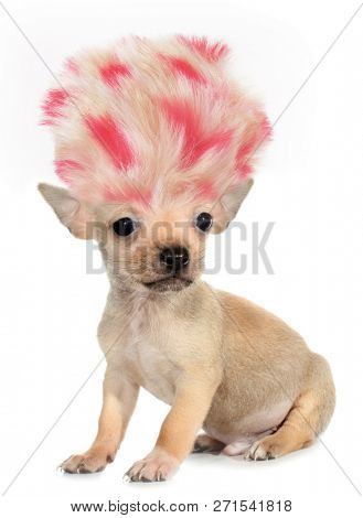 Chihuahua puppy small dog with crazy troll hair funny poster stock photo