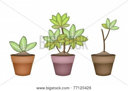 Ecological Concept Illustration of Dieffenbachia Camilla Tree in Terracotta Flower Pots for Garden Decoration. stock photo