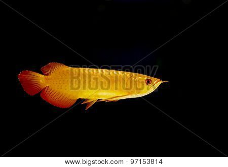 closeup arowana fish,  Dragonfish on black background stock photo