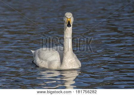 Whooper Swan swimming on a loch close up stock photo