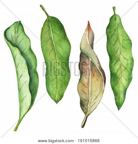 Green leaf of mango watercolor illustration. Leafy clipart on white background. Tropical tree mango foliage fresh and dry. Mango fruit leaf. Natural decor element for summer poster. Exotic garden leaf stock photo