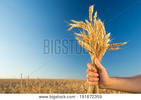 the man holding the ripened gold cones of wheat on blue sky and wheat field background. empty space for the text. , agriculture, agronomics, food, production, organic, harvest concept. stock photo