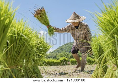 Farmers grow rice in the rainy seasonasian farmers grow rice in the rice fieldThey were soaked with water and mud to be prepared for plantingRice field in Thailand find the central of region. stock photo
