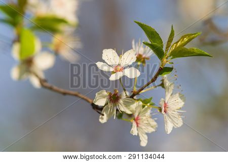 Spring flowers nature background. Nature background of spring flowers. White flowers nature background. Nature. Close up background nature of spring flowers. Nature background. Spring flowers.Springtime. stock photo