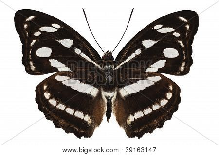 butterfly species Athyma reta moorei common name malay staff sergeant isolated on white background stock photo