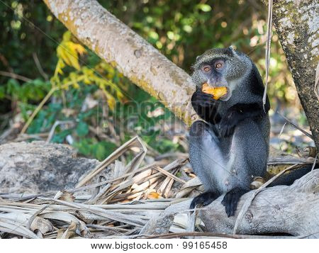 Male sykes' monkey (Cercopithecus albogularis) also known as blue monkey (Cercopithecus mitis) in Tanzania eating yellow fruit. stock photo